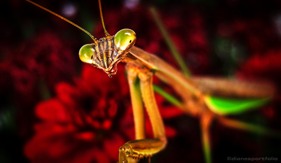 Praying Mantis Face